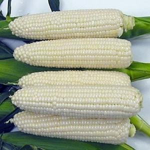 Corn - Sugar Pearl OG