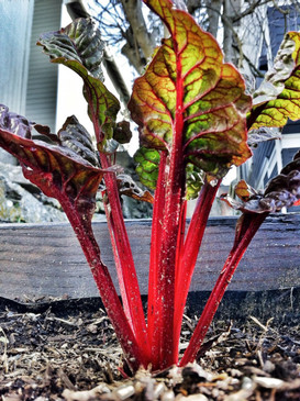 Ruby Red Swiss Chard from the Seattle Seed gardens. Ì´å©2012 Seattle Seed Co.