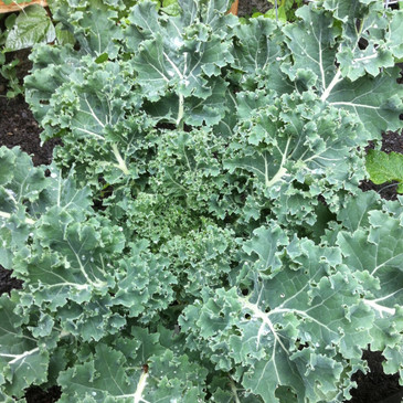 Vates Blue Curled Kale from the Seattle Seed gardens.