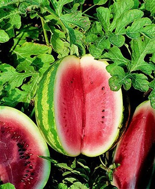 ... Watermelon - Sugar Baby OG Home Vegetables Melons Watermelon - Sugar