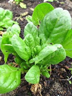 Spinach - Everlasting OG