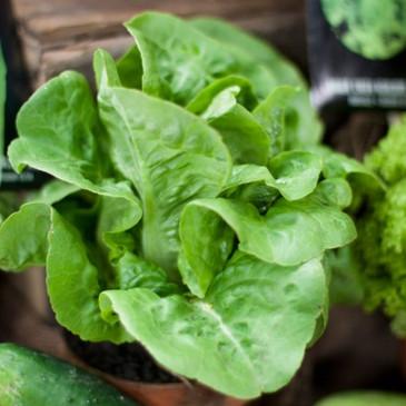 Lettuce - Little Gem OG