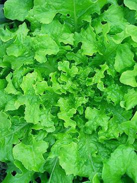 Lettuce - Emerald Oak OG
