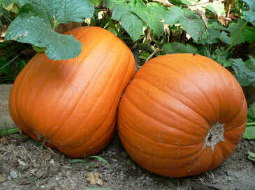Pumpkin - Howden OG