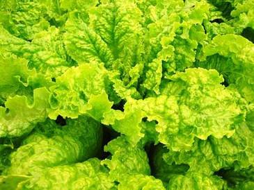 Lettuce - Australian Yellow OG