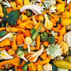 Squash - Ornamental Gourd Mix OG