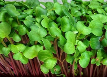 Radish for Sprouting and Microgreens