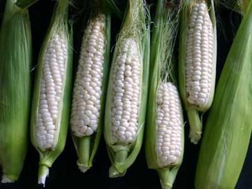 Corn - Luther Hill OG (white sweet)