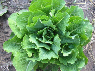 Lettuce - Crisp Mint Romaine OG