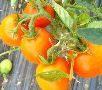 Tomato - Ida Gold OG