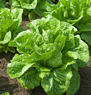 Lettuce - Ridgeline OG
