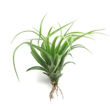 Tillandsia Air Plant - Abdita