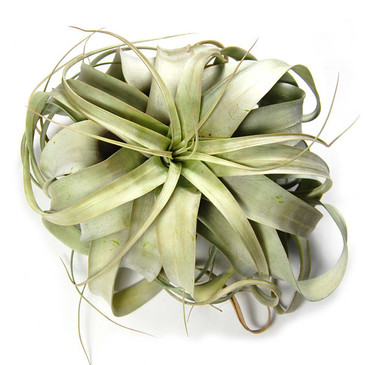 Tillandsia Air Plant - Xerographica