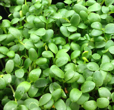 Red Clover for Microgreens