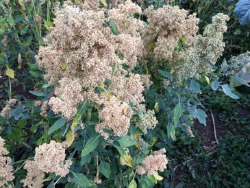 Quinoa - Vanilla Mint OG