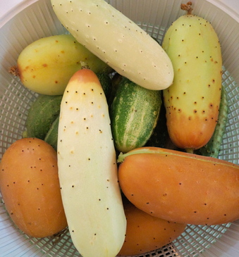 Cucumber- Poona Kheera