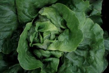 Lettuce - Butterhead Optima OG