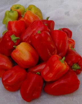 Pepper - Little Bell (sweet) OG