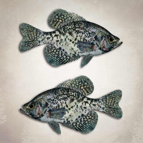 Black Crappie Fishing Decal
