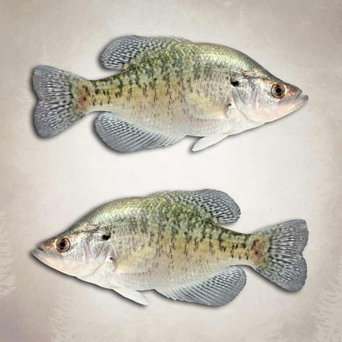 White crappie fishing decals fish stickers for Pictures of crappie fish