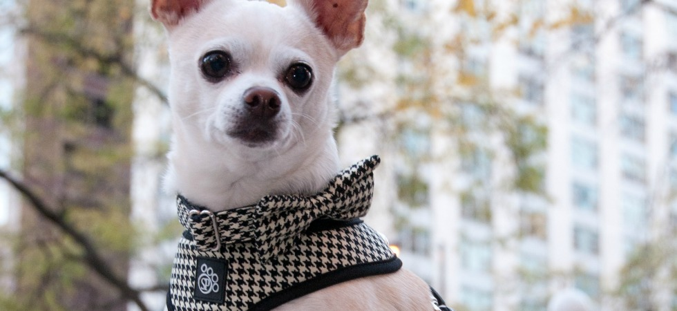 Houndstooth Harness, Bow Tie and Collar.  Photo by Fetch Portraits.
