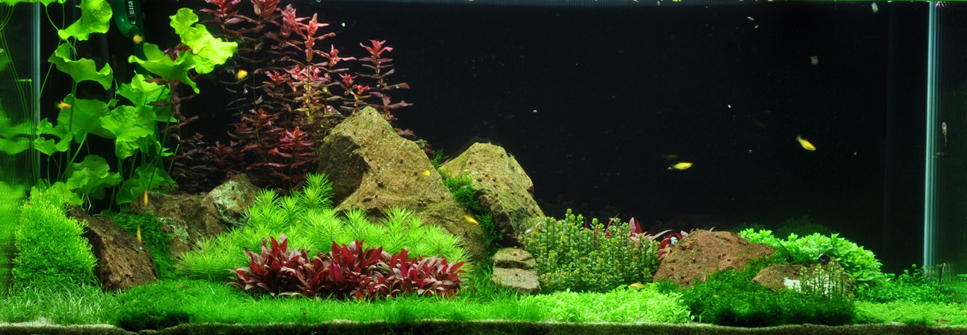 Lilaeopsis Brasiliensis Aquascaping Plant Buy Aquatic Plants Australia Buy Pond Plants