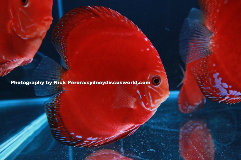 Premium solid red discus released 16th july 2014 sydney for Anchor worm on fish