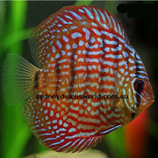Red German Terquoise 8 cm