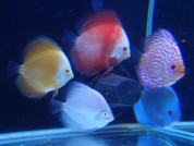 ASSORTED 10 DISCUS FISH 8-9 CM