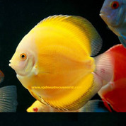 SUPER YELLOW DISCUS 8-9CM