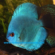 BLUE DIAMOND DISCUS 8-9 CM