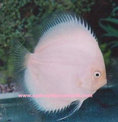 WHITE DIAMOND Discus 8- 9 CM