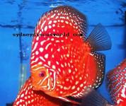Rafflesia Discus 12-13 cm