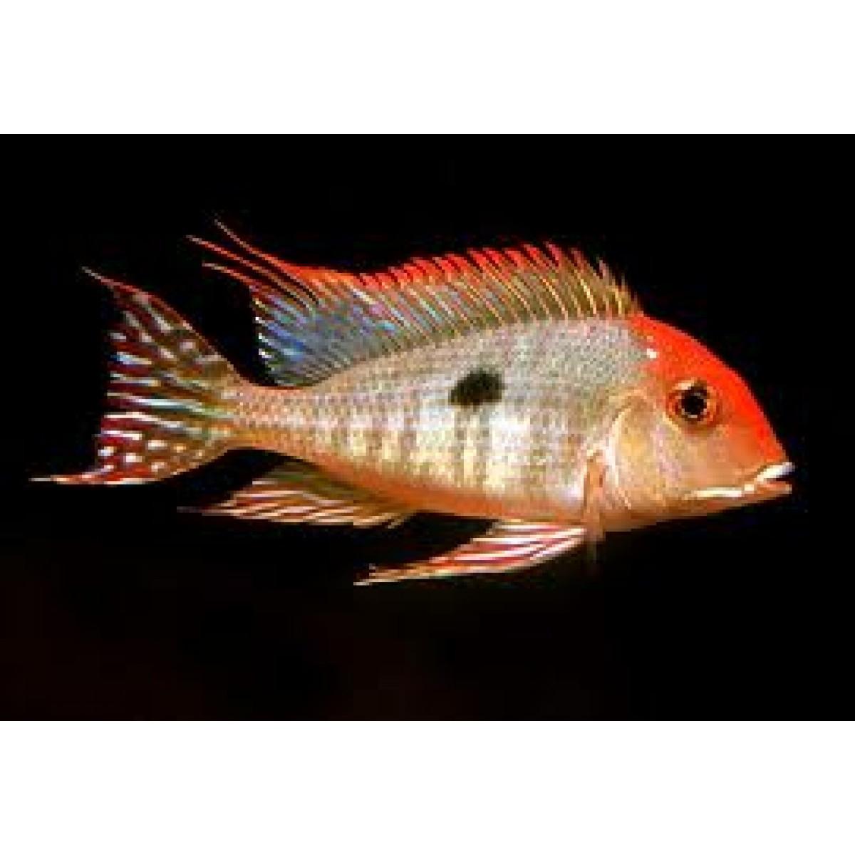 Geophagus Sp Tapajos Orange Head 8 Cm Sydney Discus