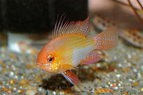 Gold Ram 5 Cm Sydney Discus World Aquariums Pty Ltd