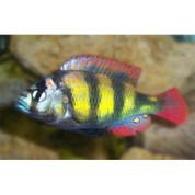 Haplochromis Thick Skin, Red Fin 7cm