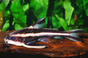Striped Raphael Catfish 10 cm