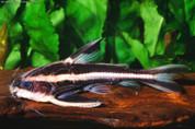 Striped Raphael Catfish 10 cm
