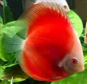 Albino Red Discus 9 cm