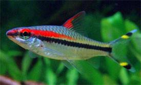 Torpedo barbs 5 cm sydney discus world aquariums pty ltd for Large peaceful community fish