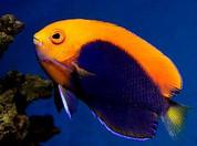 African Pygmy angelfish 7cm