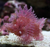 Rhinopias Scorpion Fish