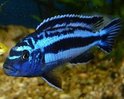 Melanochromis Maingano 10cm