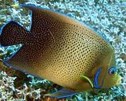 Koran Angelfish (Pomacanthus semicirculatus) 10cm