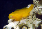 Clown Goby, Yellow 4cm