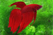 RED MALE FIGHTER 7CM