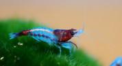 Blue Rili Shrimp