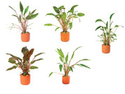Crypts In T/cotta Pots Assorted 5 Pack