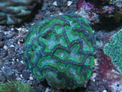 Outophyllia crispa Green Swollen Maze- 8cm