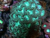 Blastomussa wellsi Swollen - 8cm